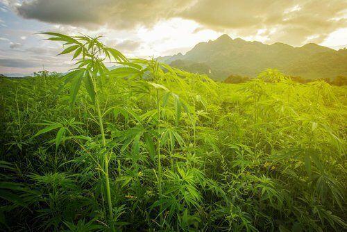 The Origins of Marijuana as Medicine