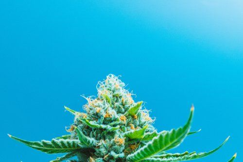 Will Sativa Strains Induce Anxiety?