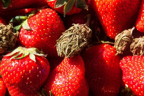 Strain Feature: Strawberry Diesel Florida Medical Marijuana